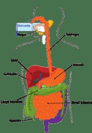 Refigura Verdauung