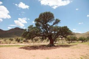 Sheabutter Baum
